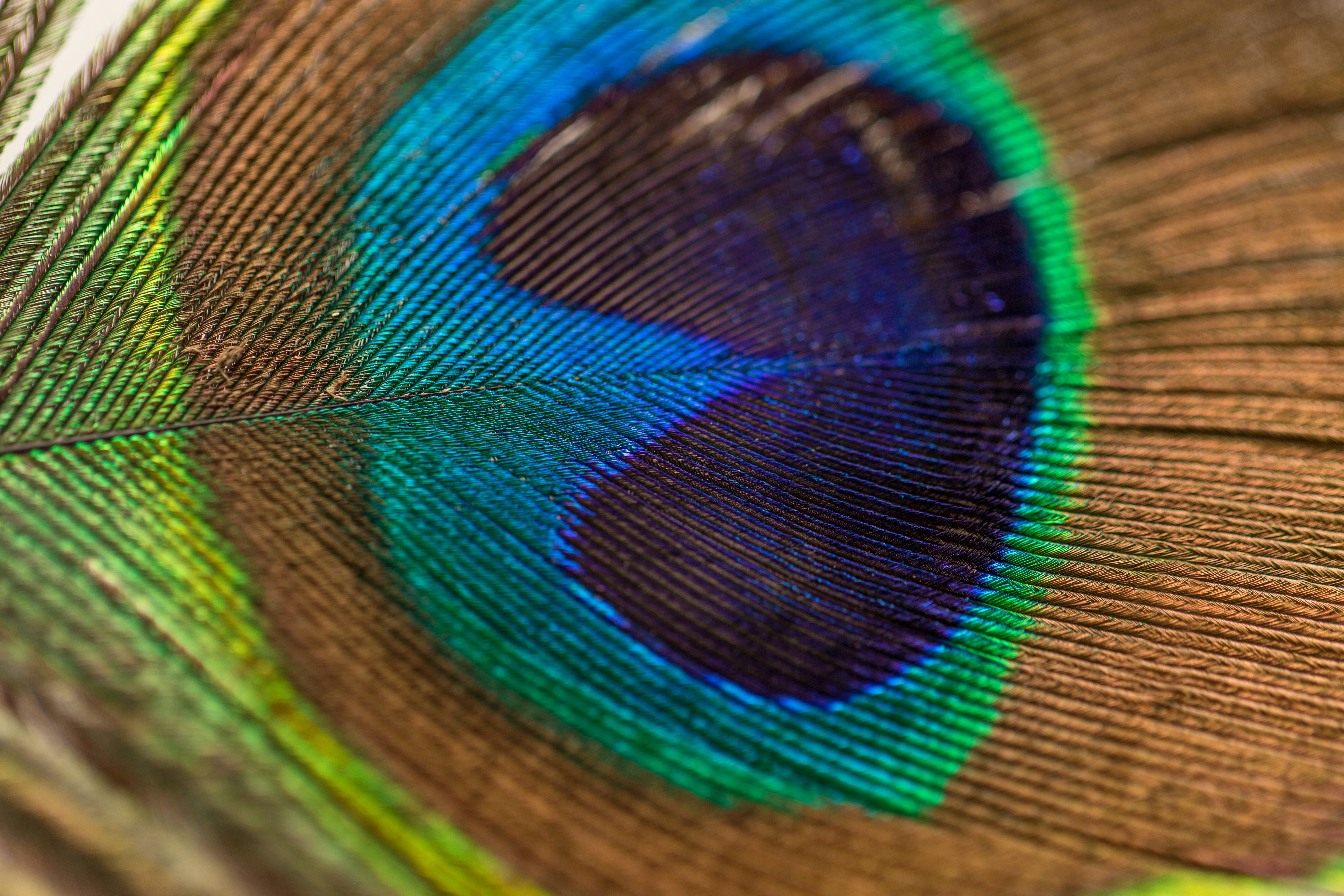 photography of peacock feather