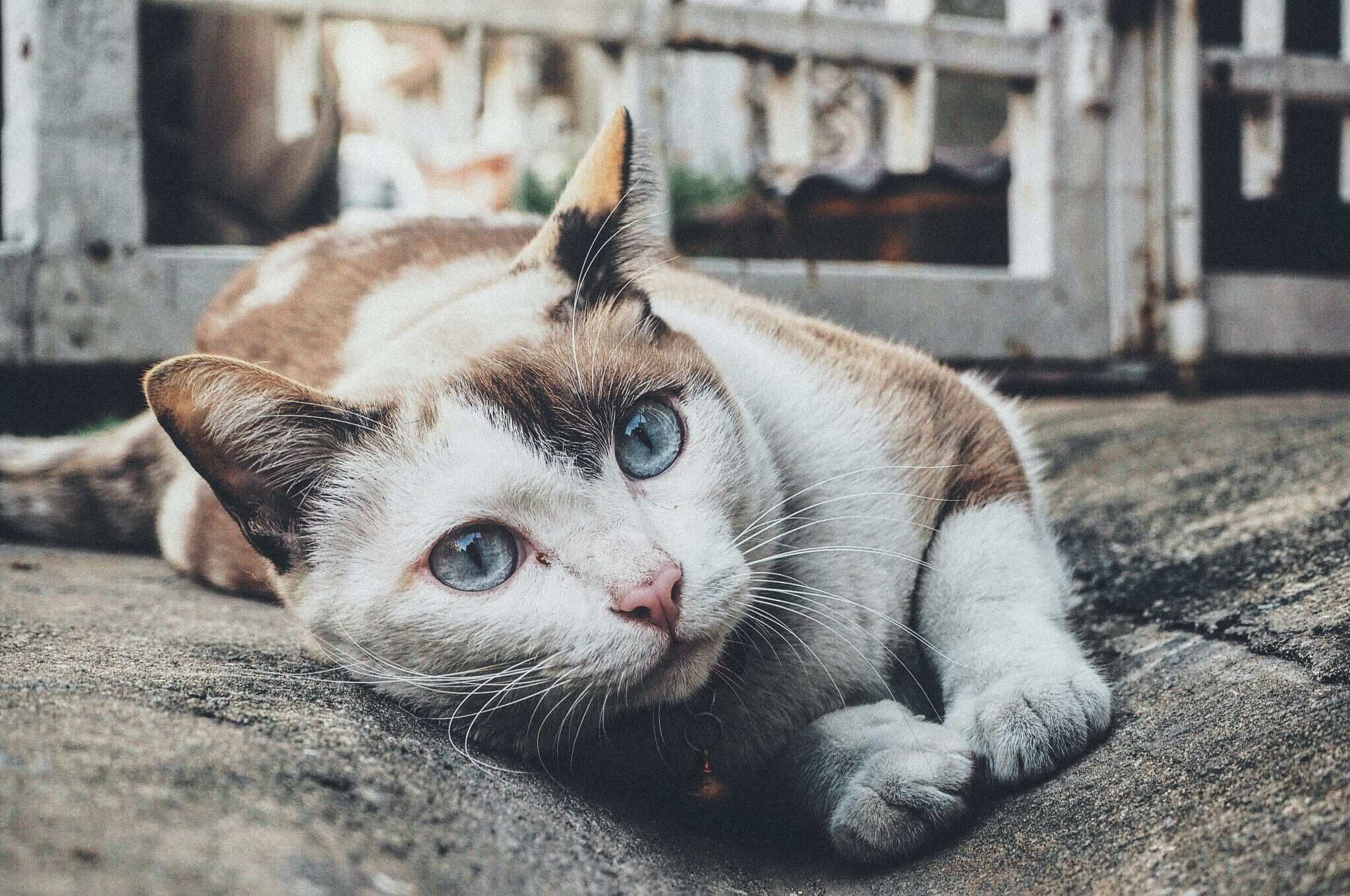 A white and brown cat with big blue eyes and a cat bell on its collar lying on the ground