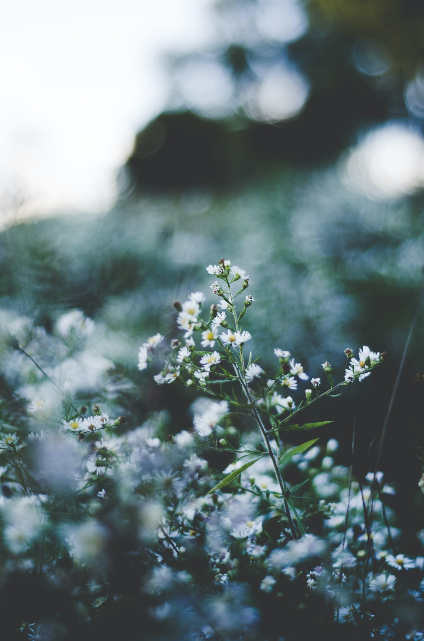 selective focus of white baby's-breath flowers blooming
