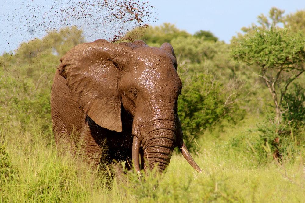 brown elephant walking on grass field