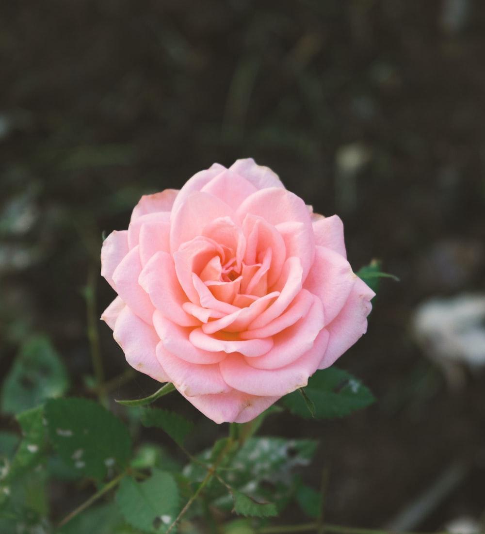 pink carnation flower