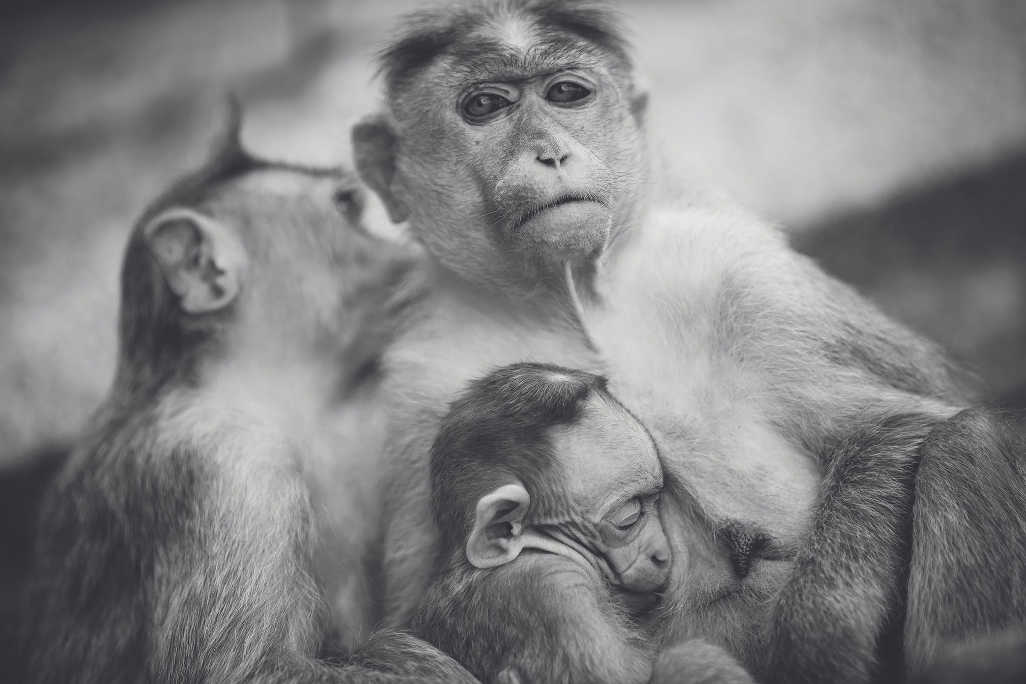 Thoughtful black and white photo of a family of monkeys clinging to one another