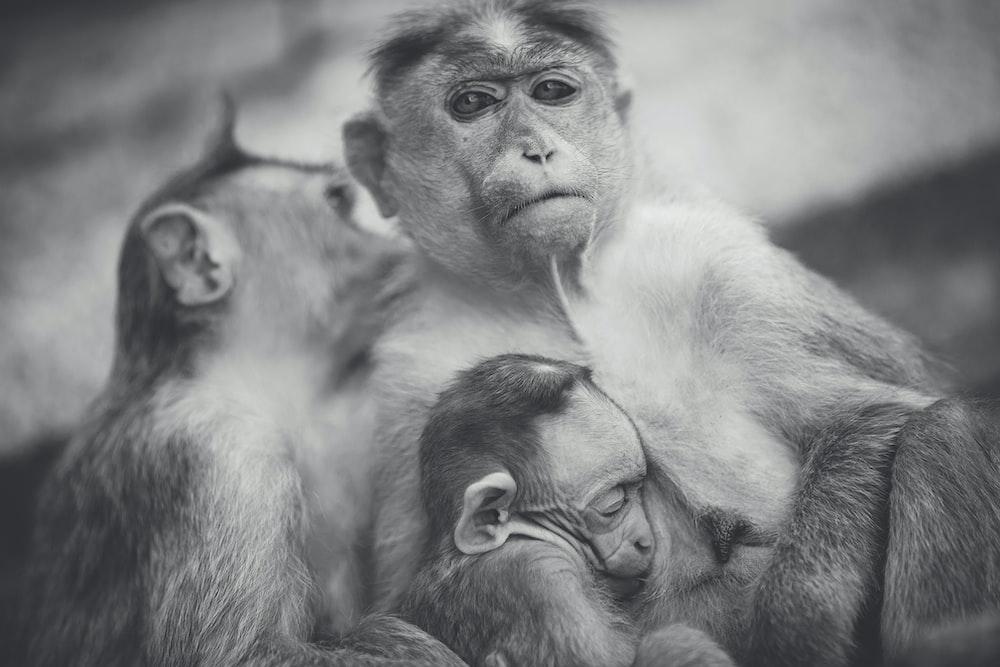 grayscale of monkey family photo