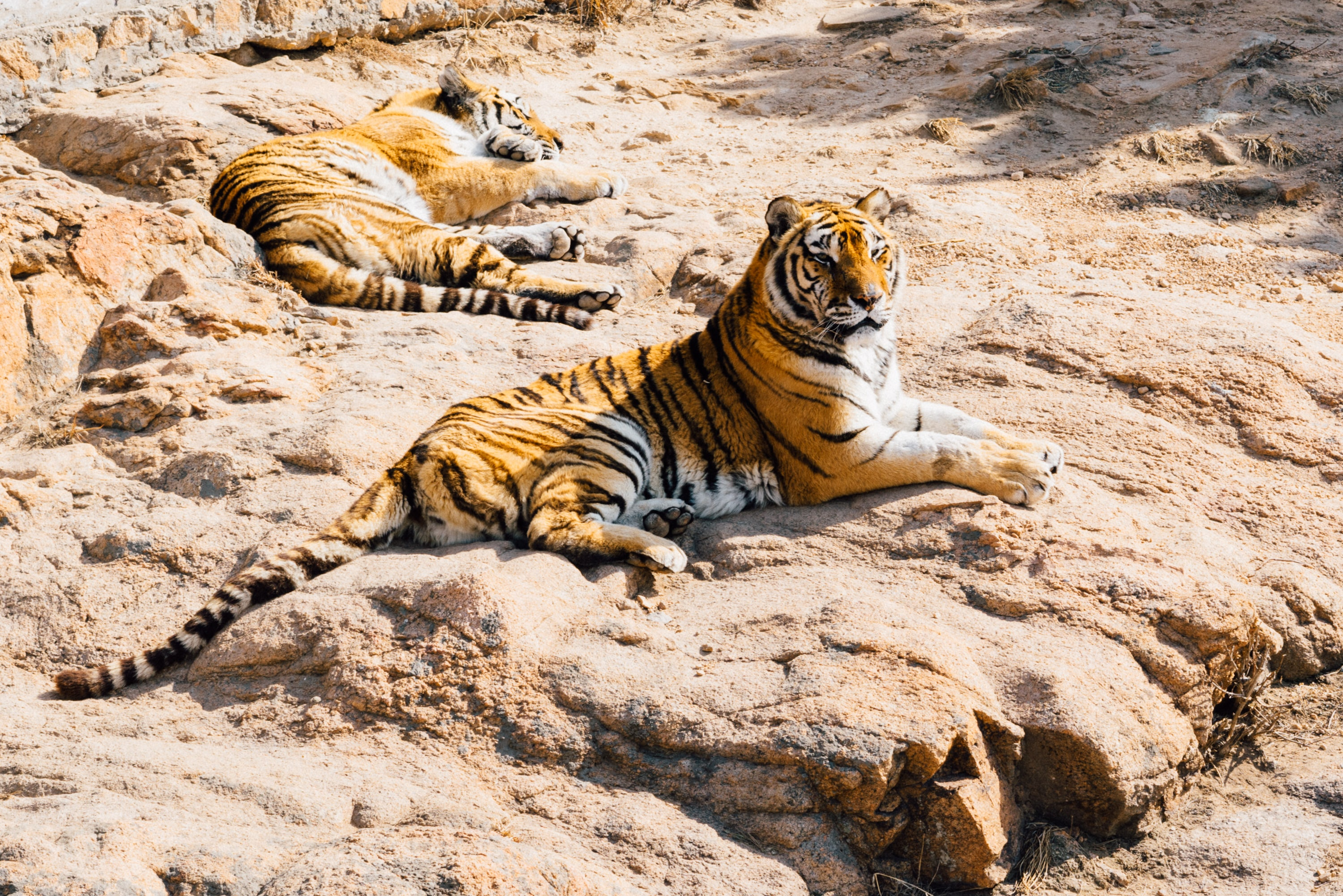 Two tigers in sunlight lying on rock relaxing