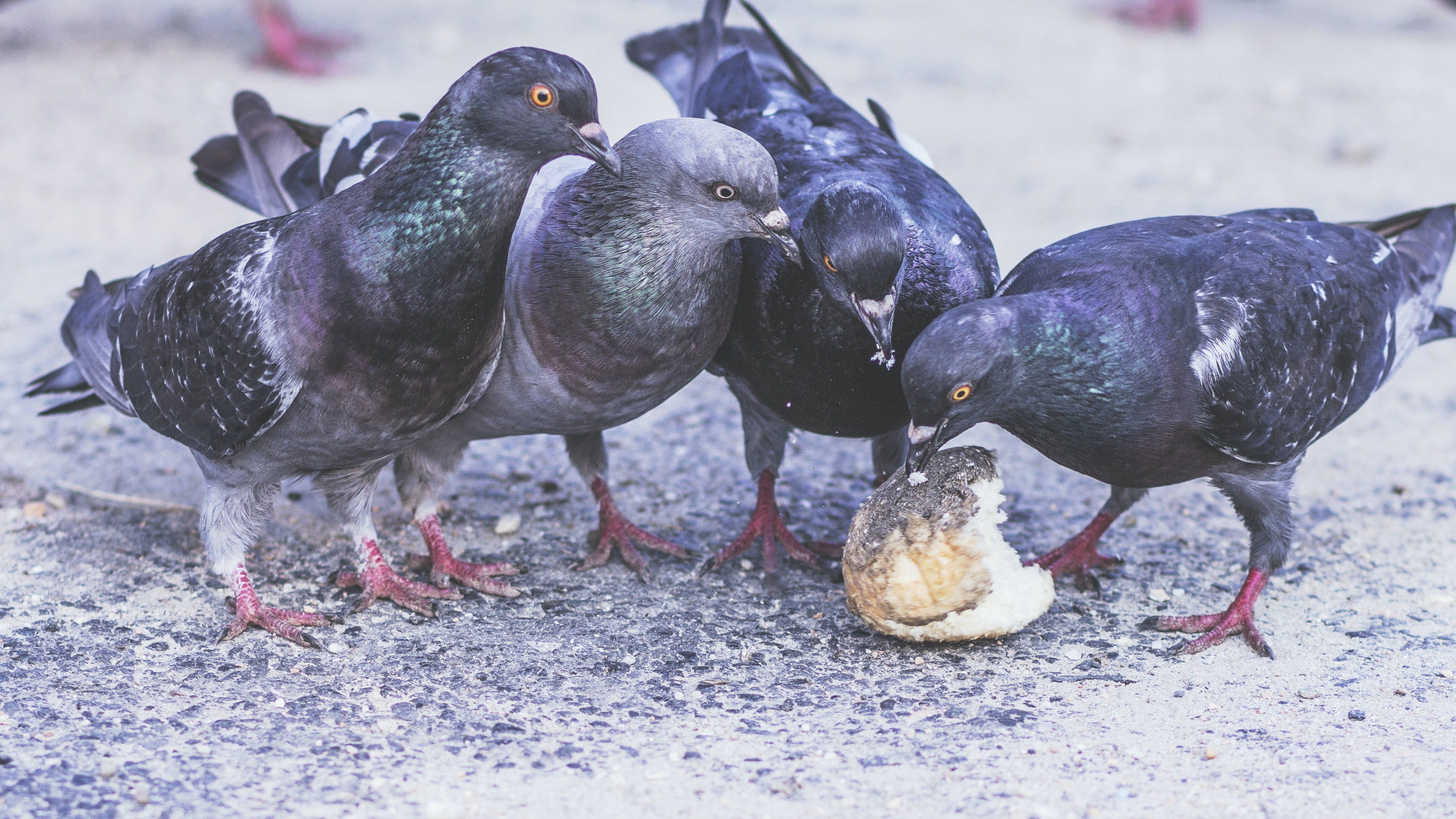 Flock of pigeons peck at a littered piece of bread in the city