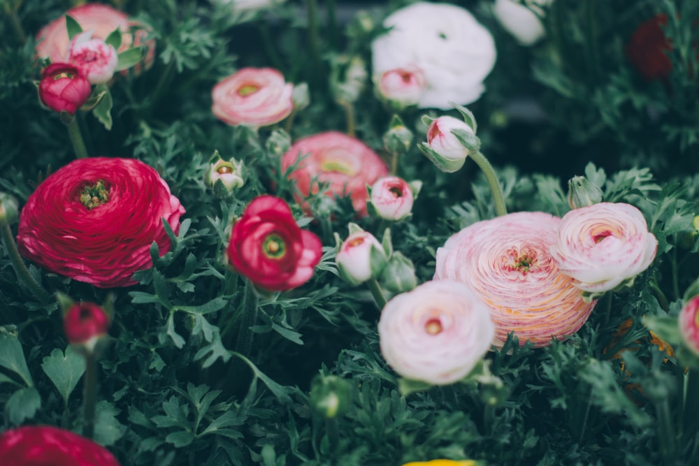 tilt shift phogoraphy of white, pink, and red petaled flowers