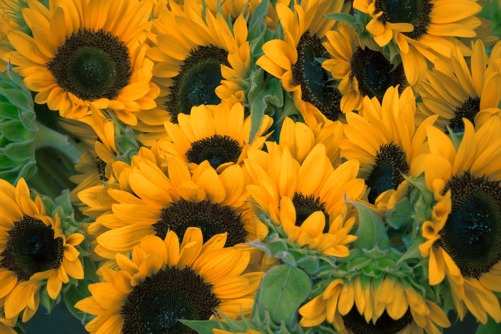 bunch of sunflowers