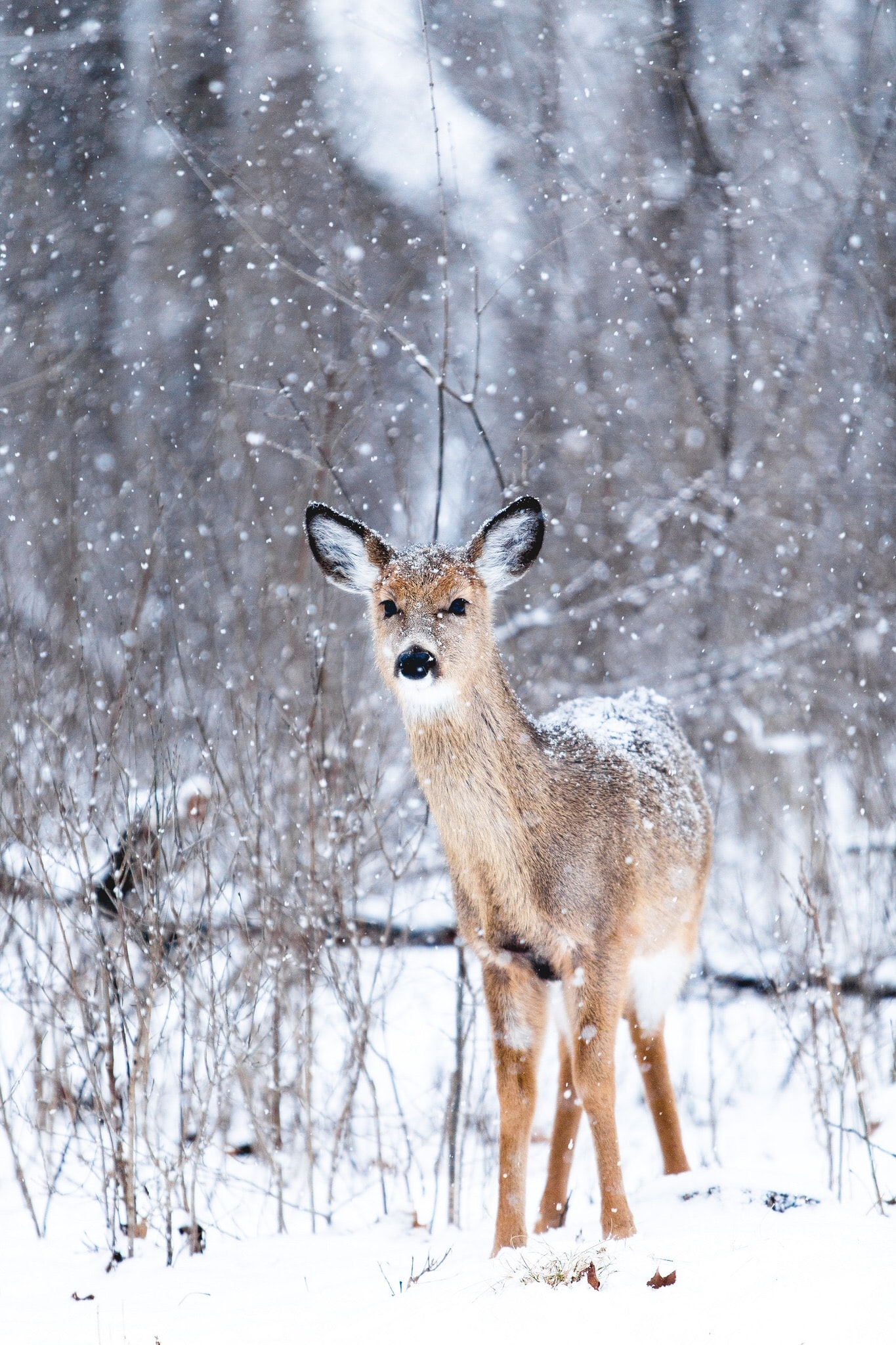 brown deer at winter