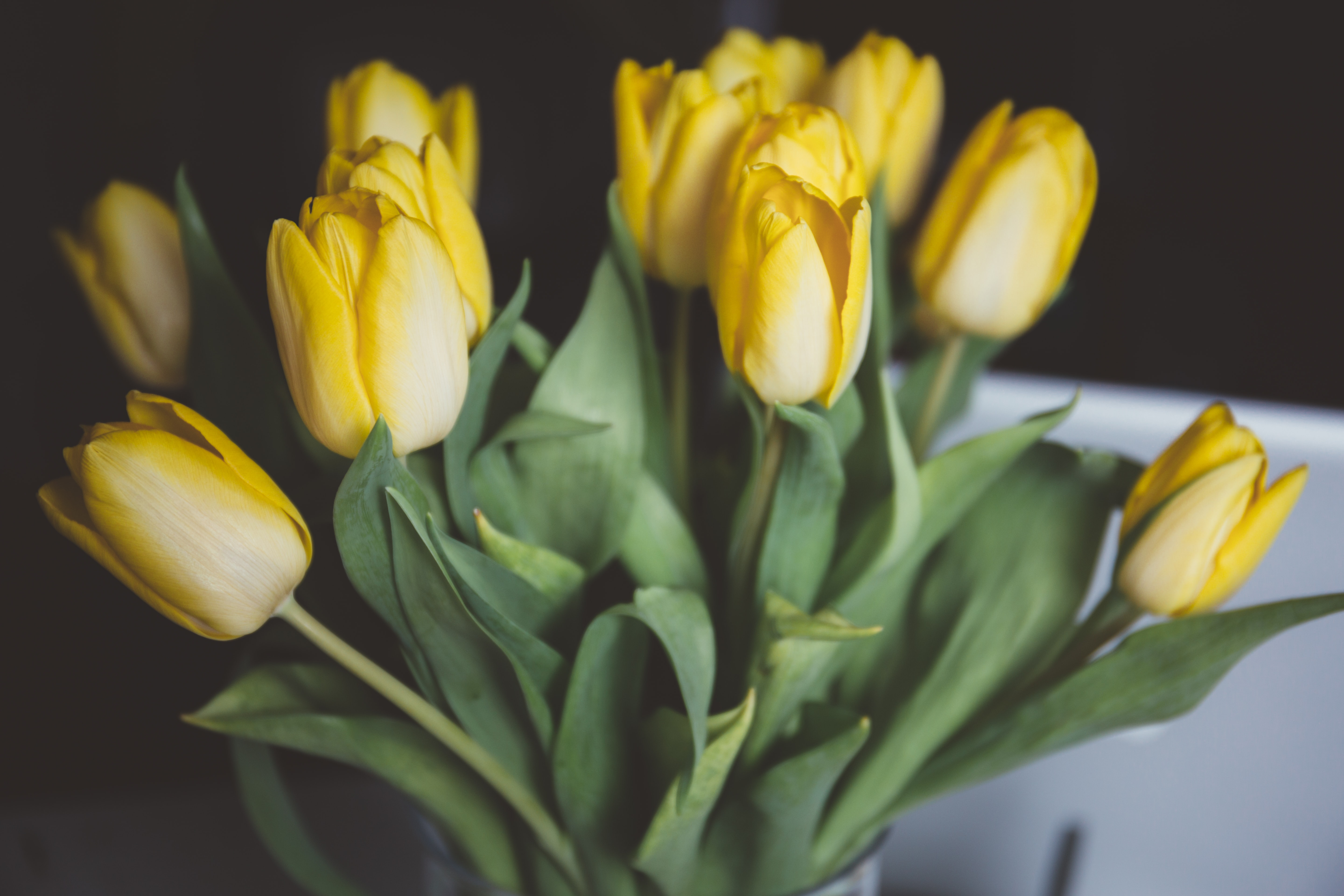 Close up of yellow tulip bouquet with green stems in Spring