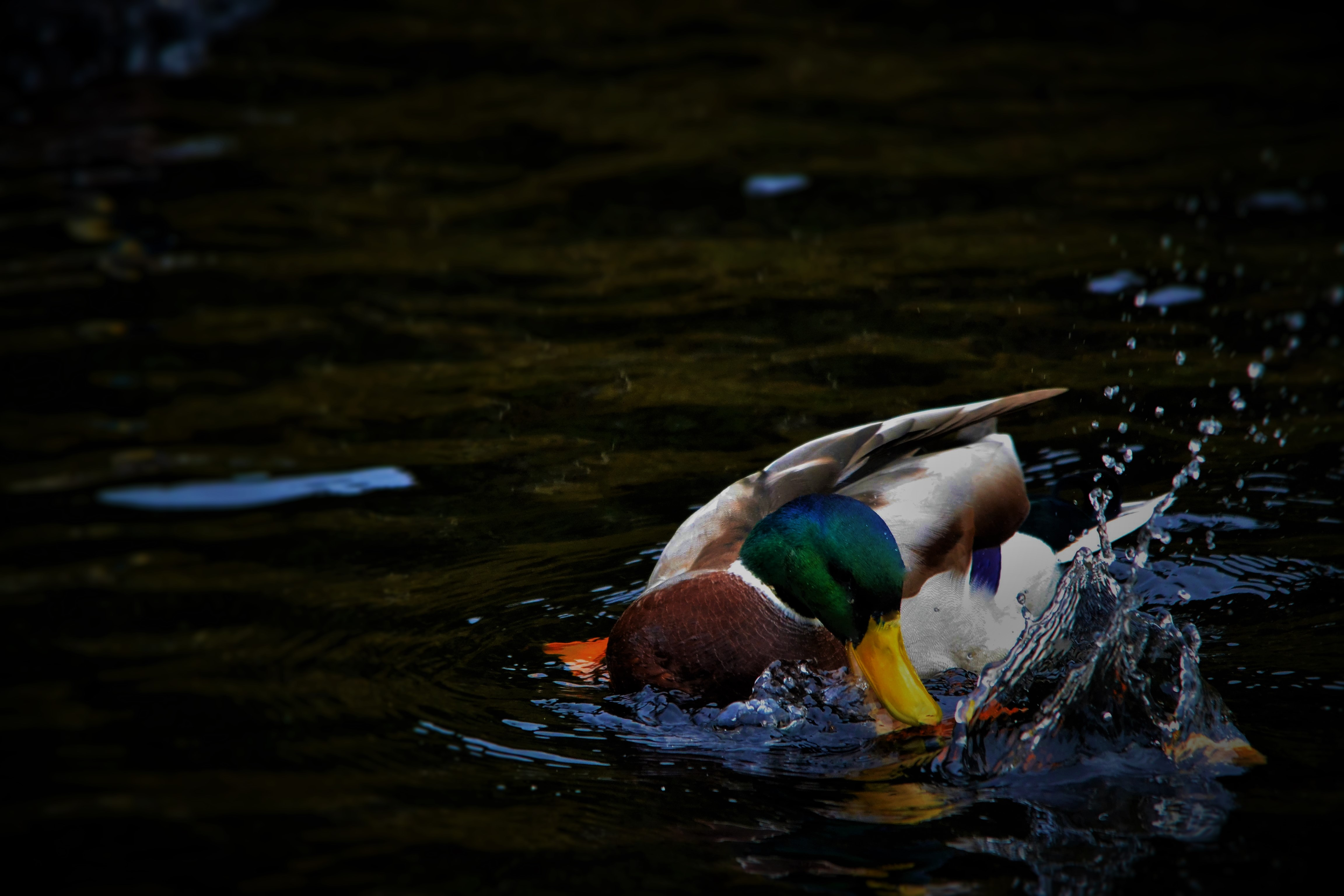 A duck eats a fish in a pond
