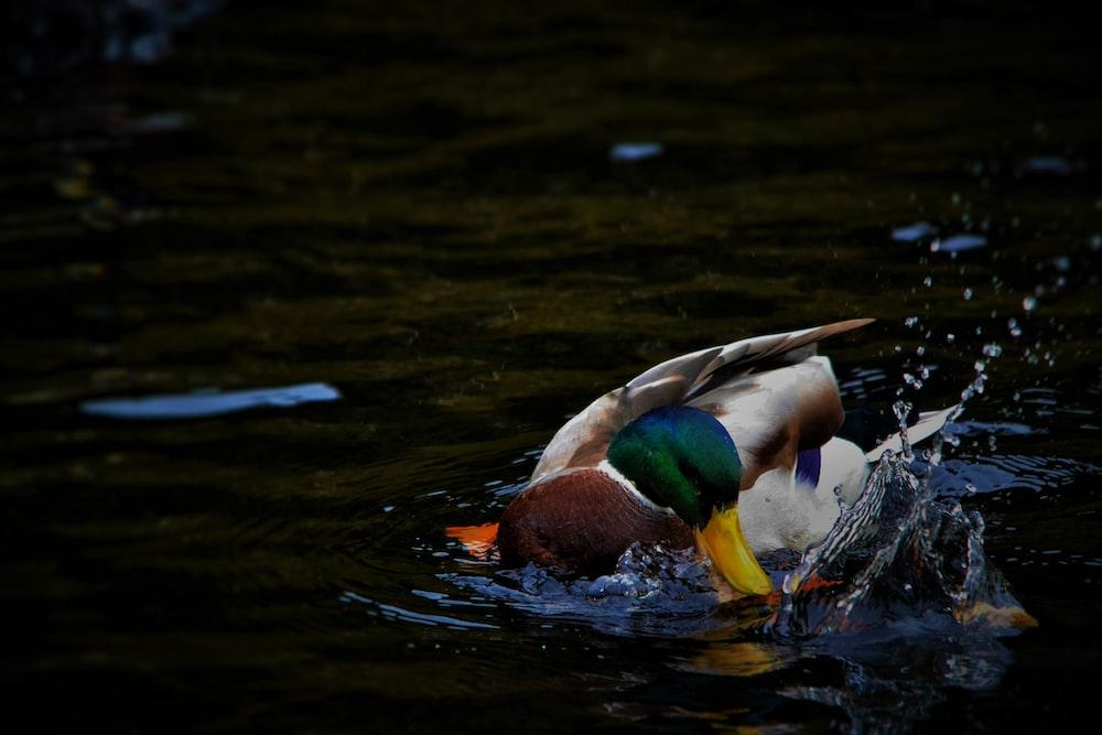 male mallard duck on water