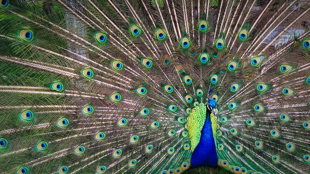 peacock expanding his tail during daytime