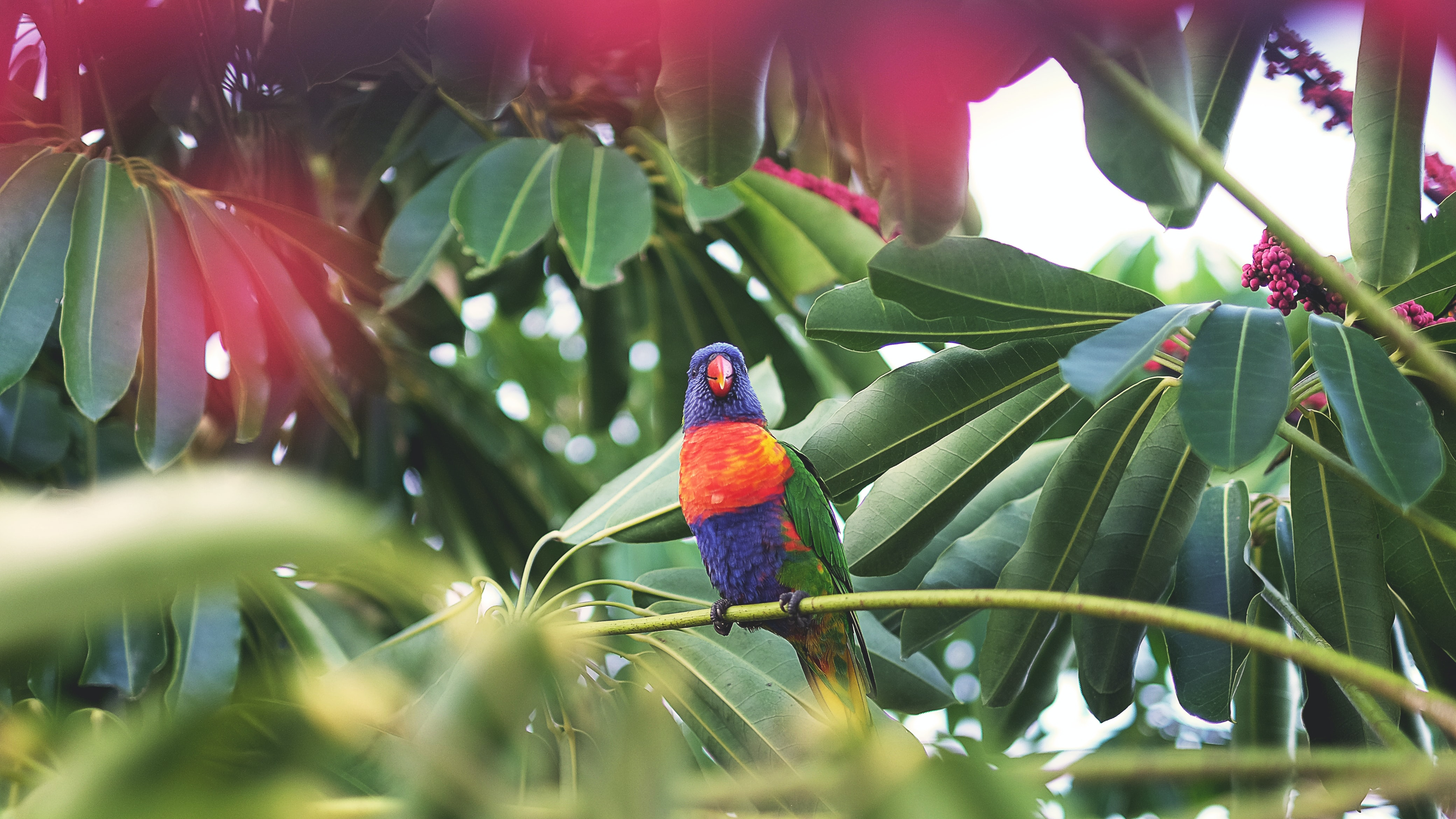 Rainbow lorikeet sitting on a tropical tree branch at Airlie Beach