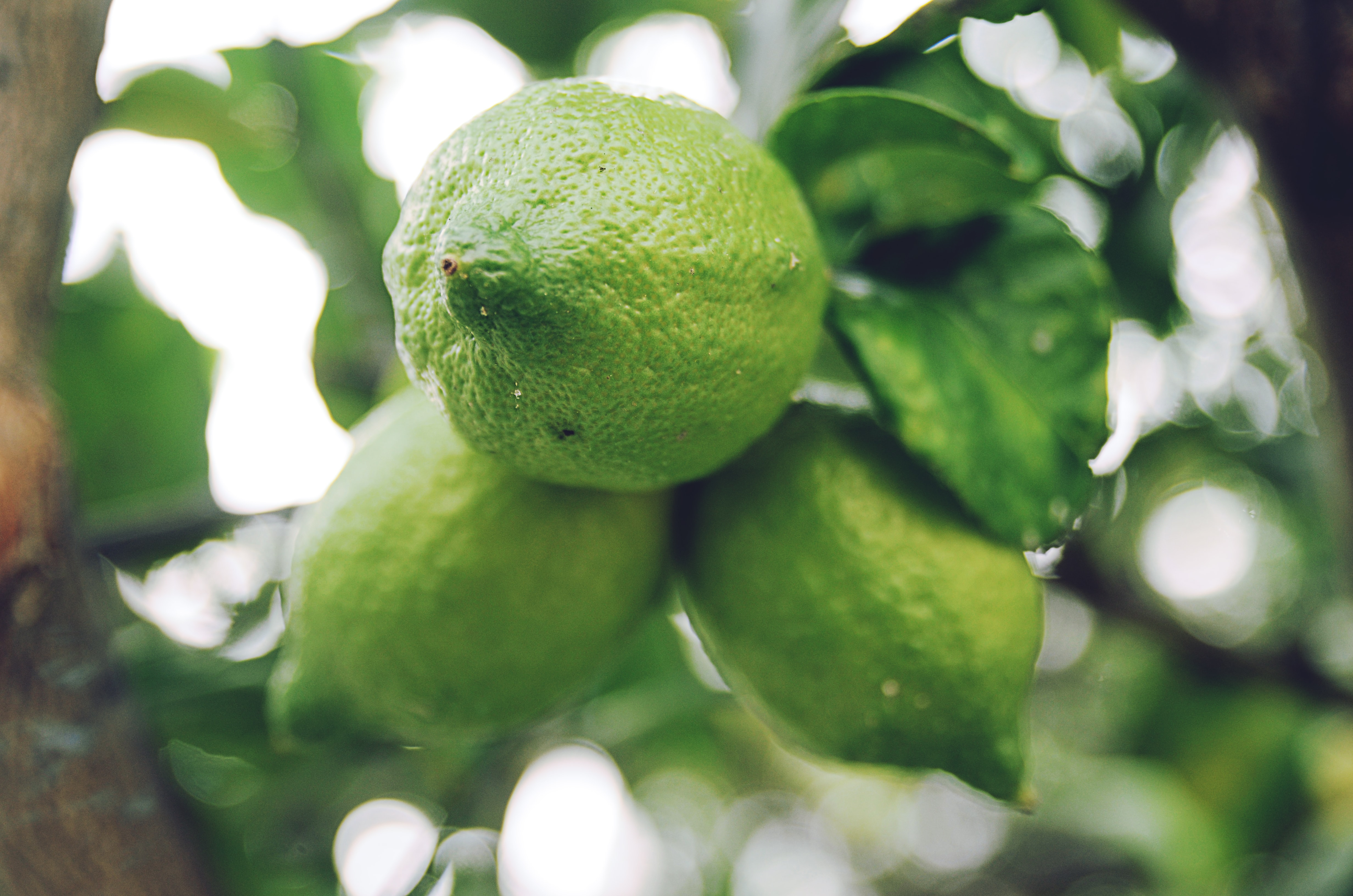 Fresh limes grow in a branch of a citrus tree