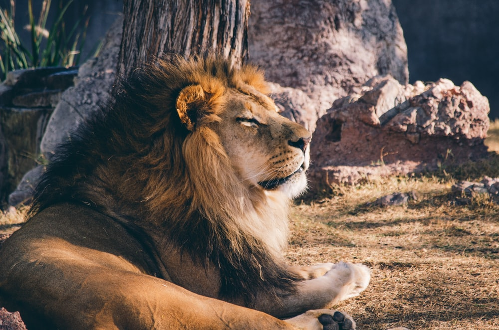 photography of lion lying on grass bear rock during daytime