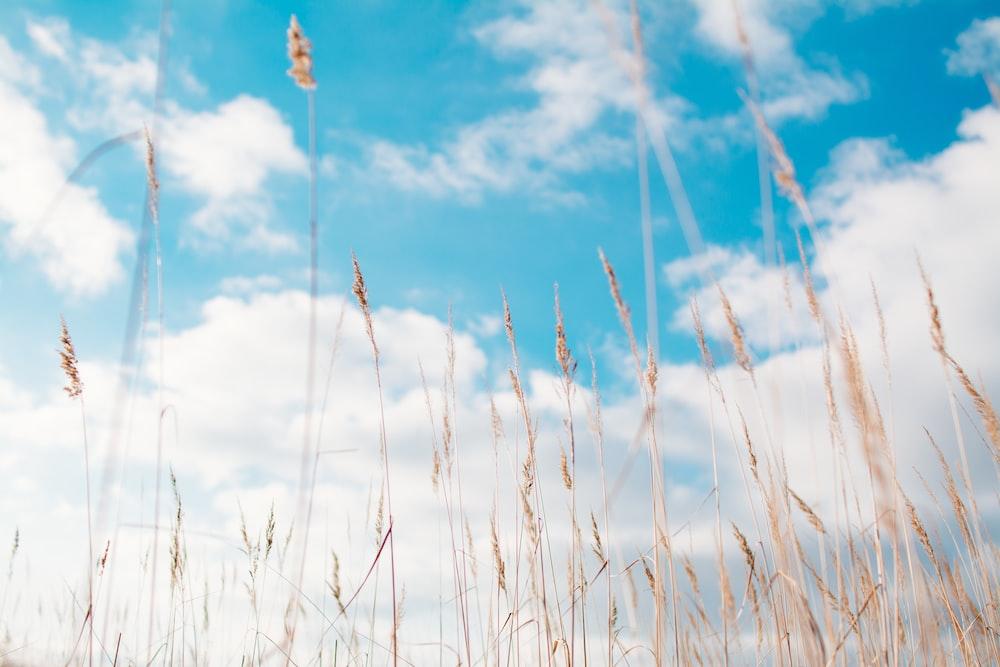 wheat field under clouds