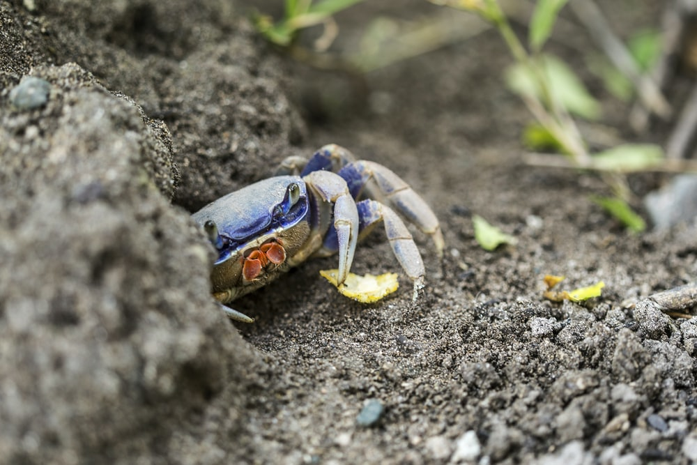 red and blue crab on gray sand during daytime