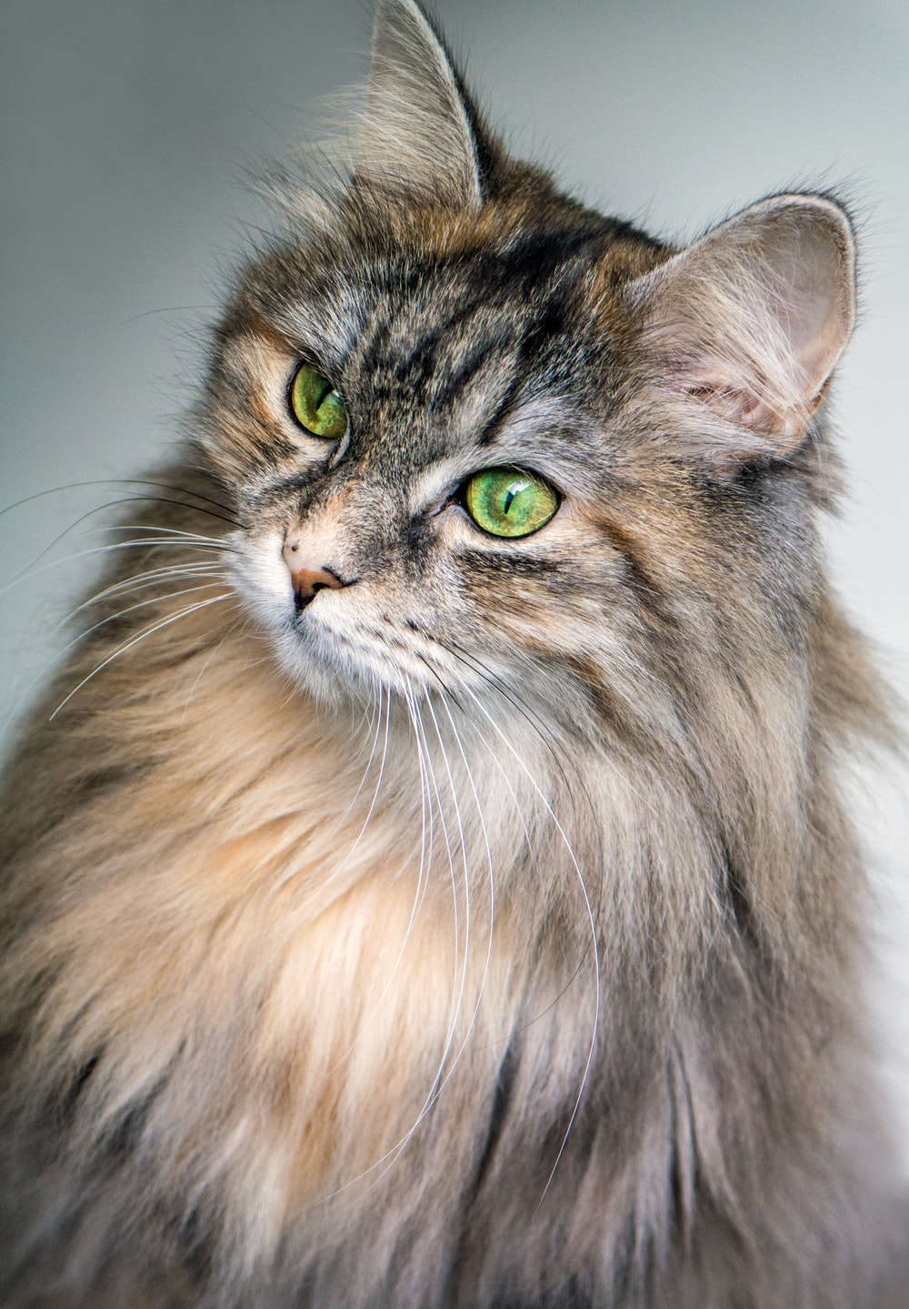 focus photography of long-fur brown cat