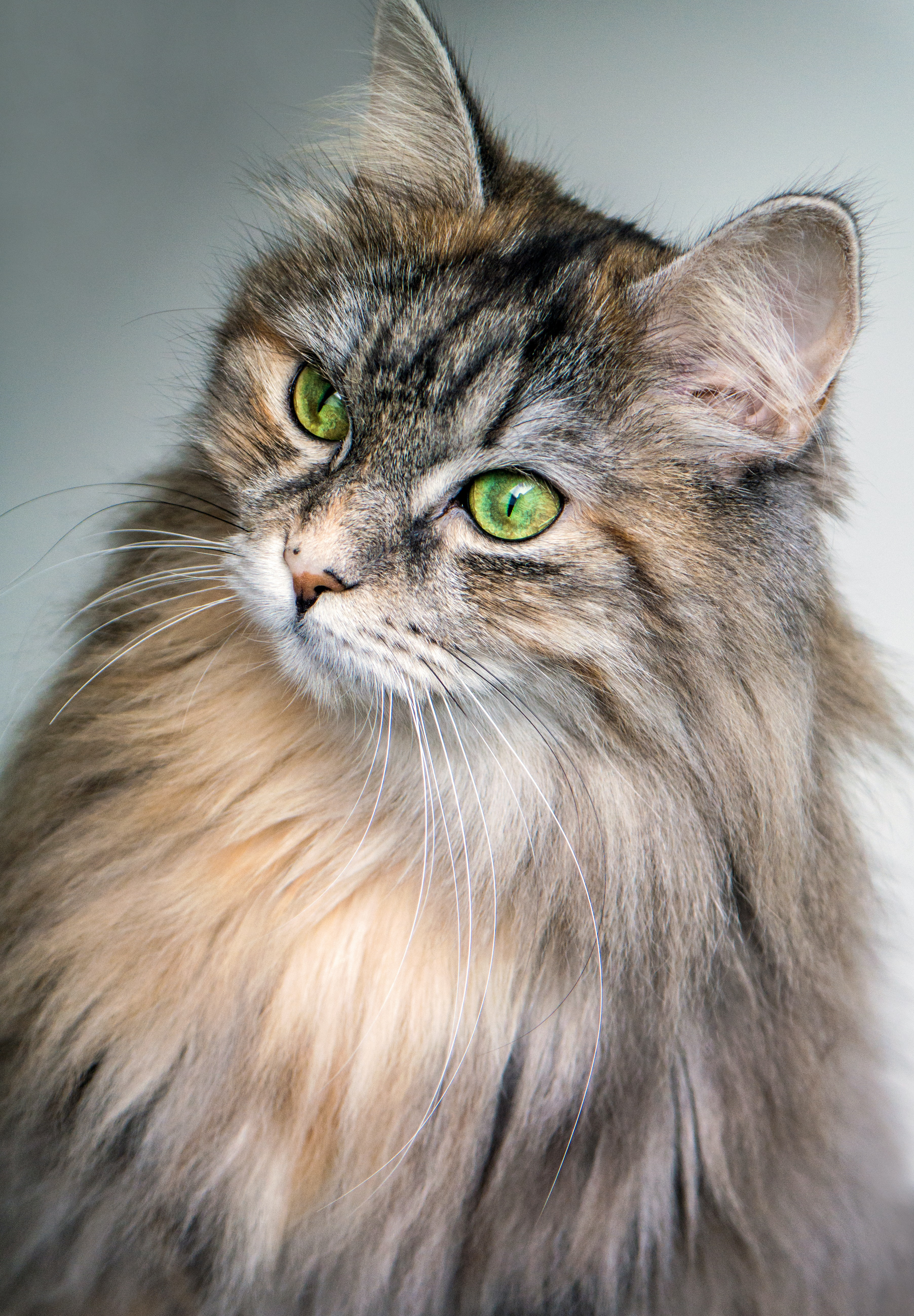Close-up of a furry green-eyed Maine Coon cat