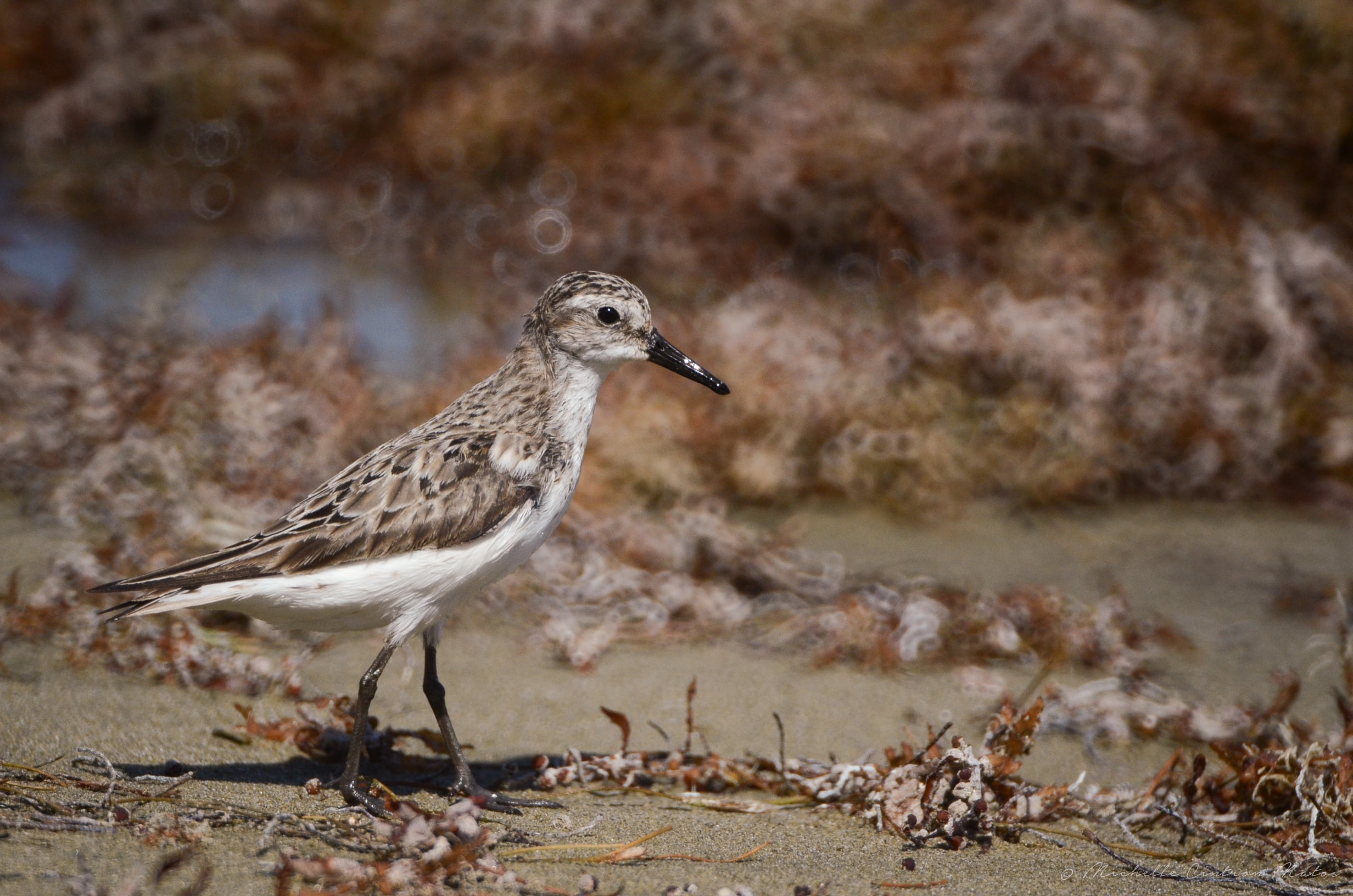 A sandpiper walking down a beach covered with dead leaves
