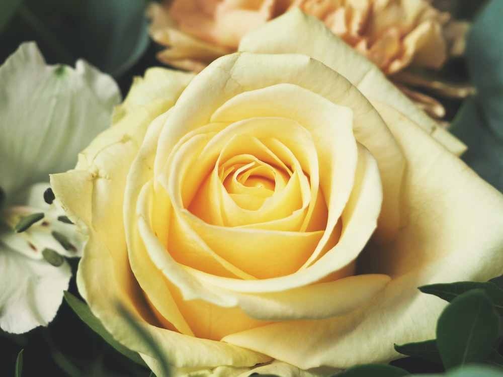 yellow rose pictures download free images on unsplash