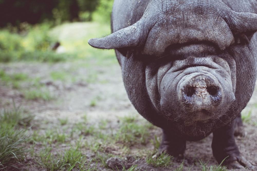 boar shallow focus photography
