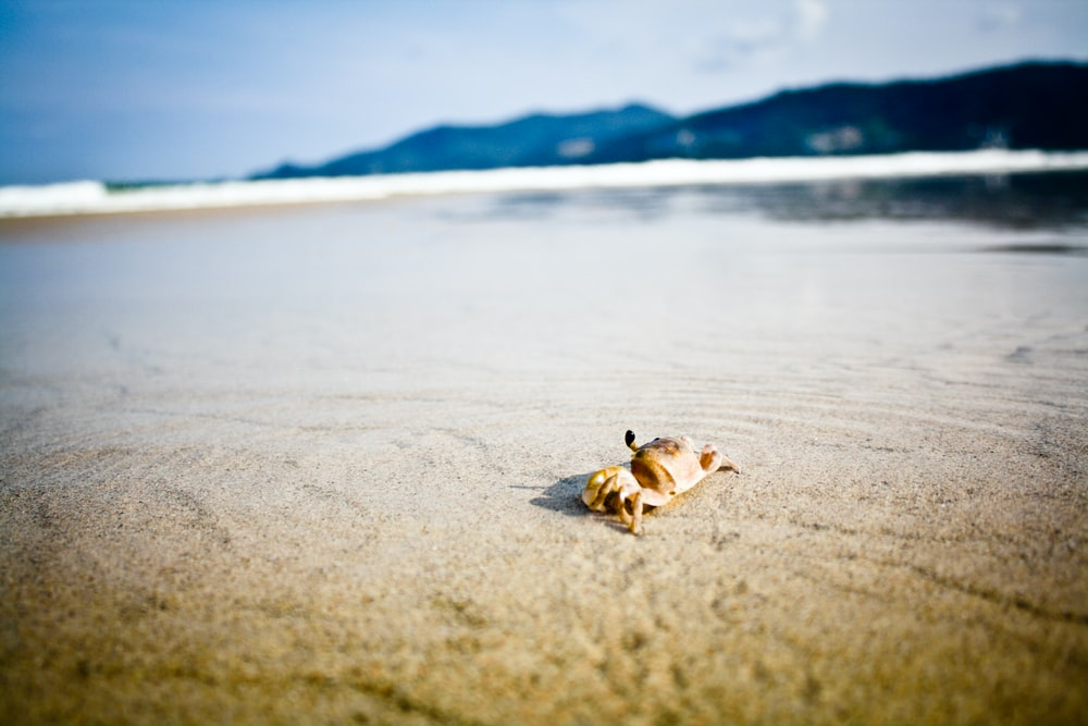 brown crab on beach during daytime