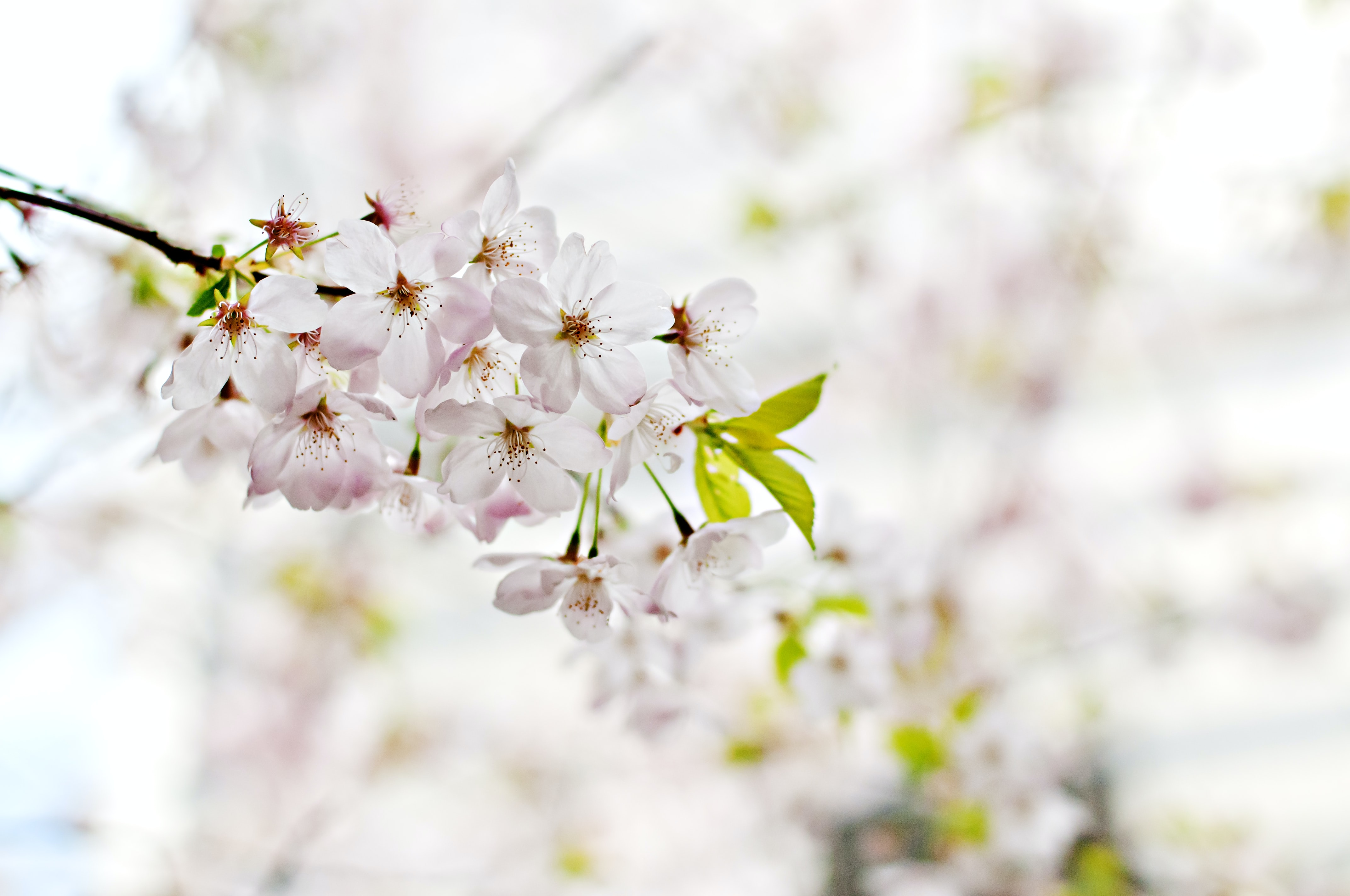 Pink blossom and small green leaves on branch with light background in spring
