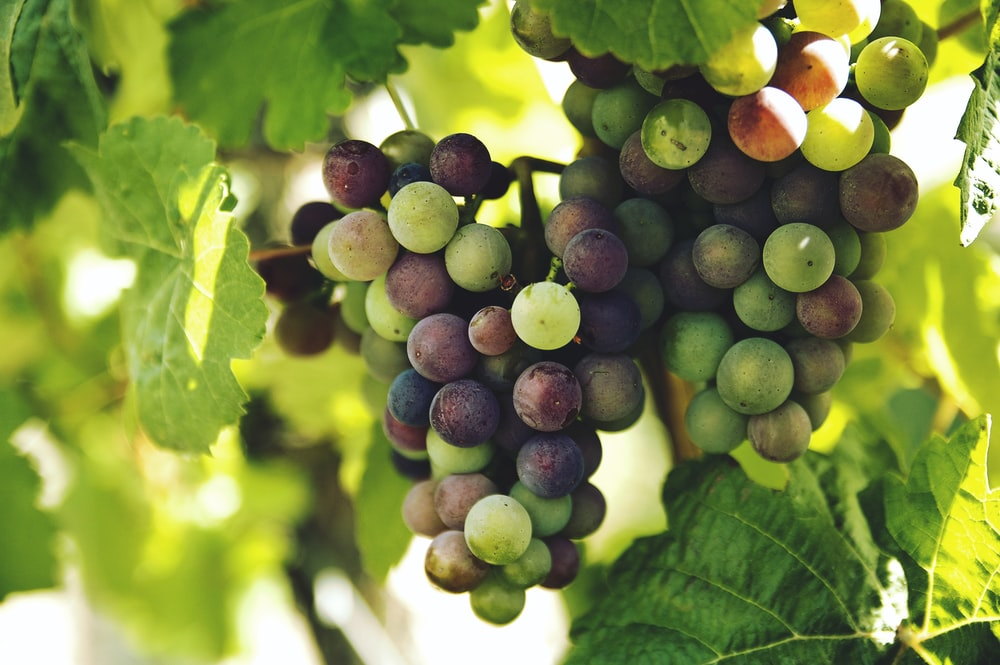grapes on trunk photography