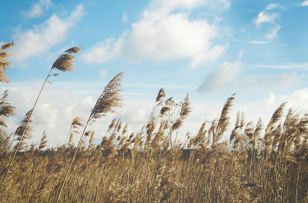 wheat field under clear blue sky