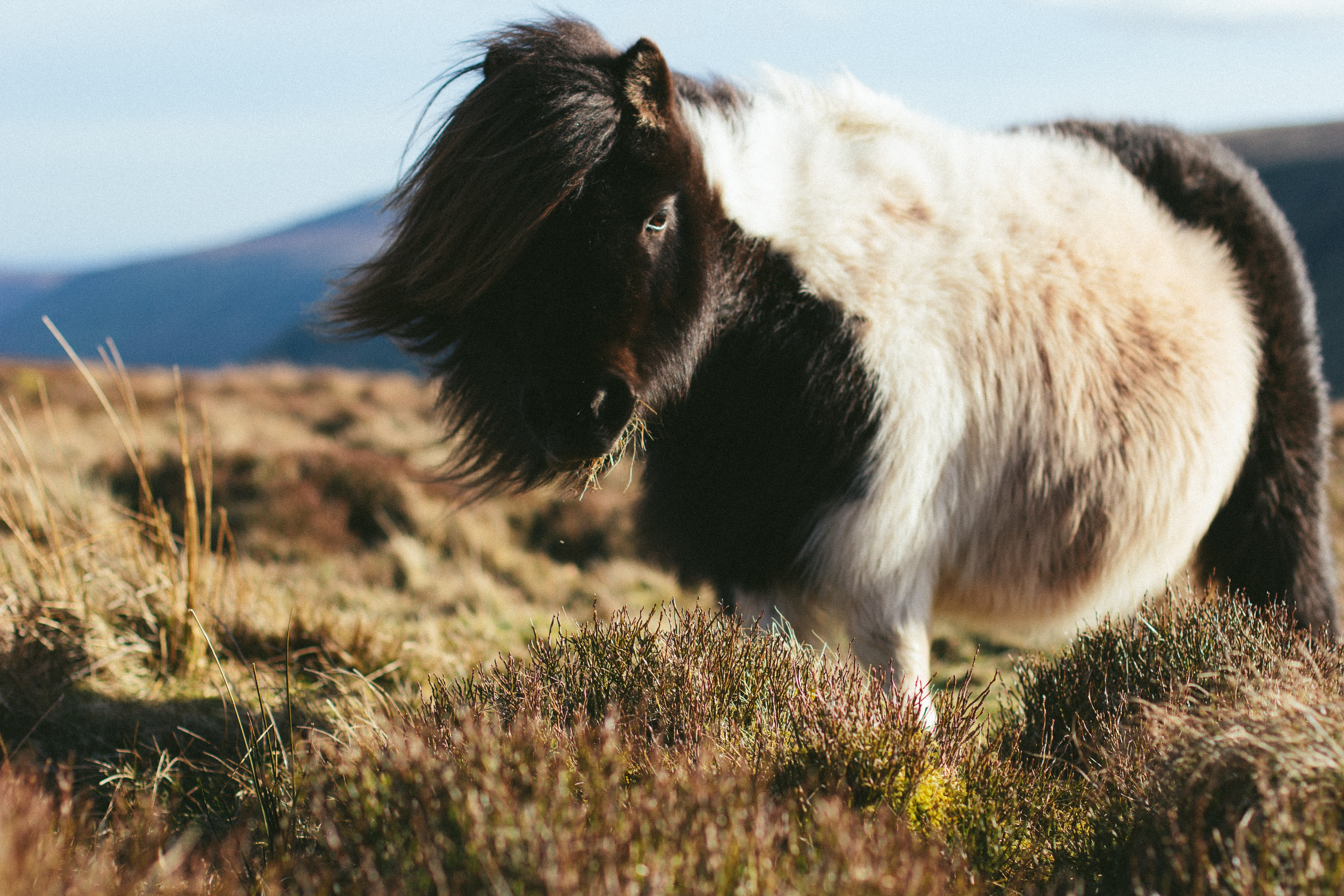 A shaggy piebald pony with a long mane grazing on thick grass