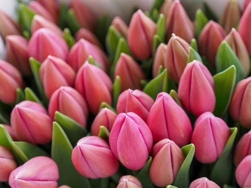 Unopened pink flowers.
