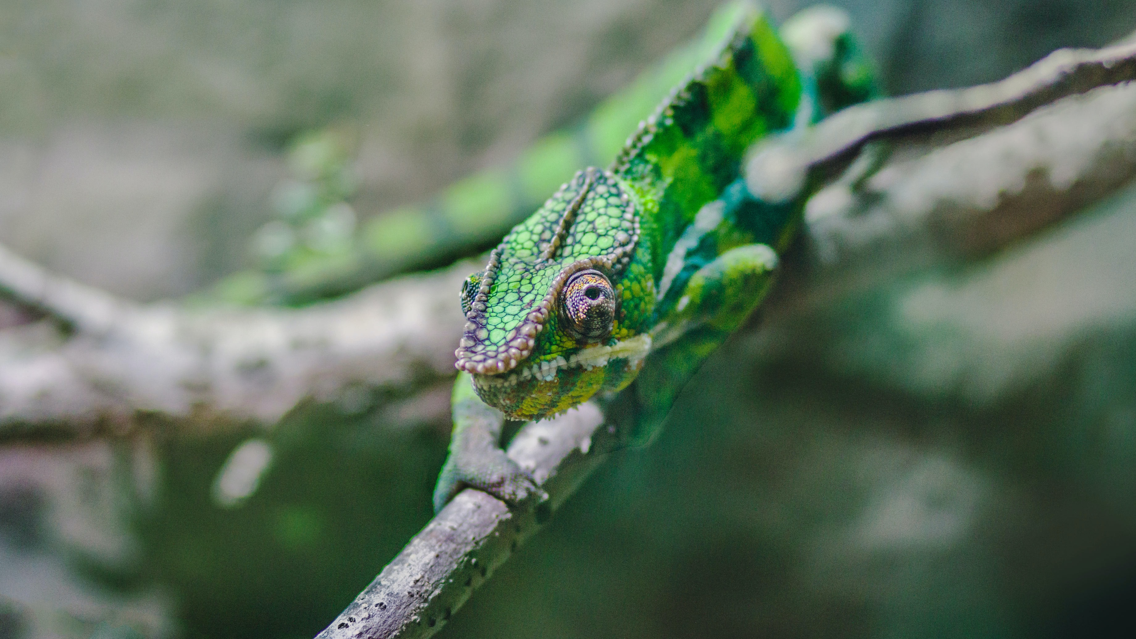 photo of chameleon on tree branch