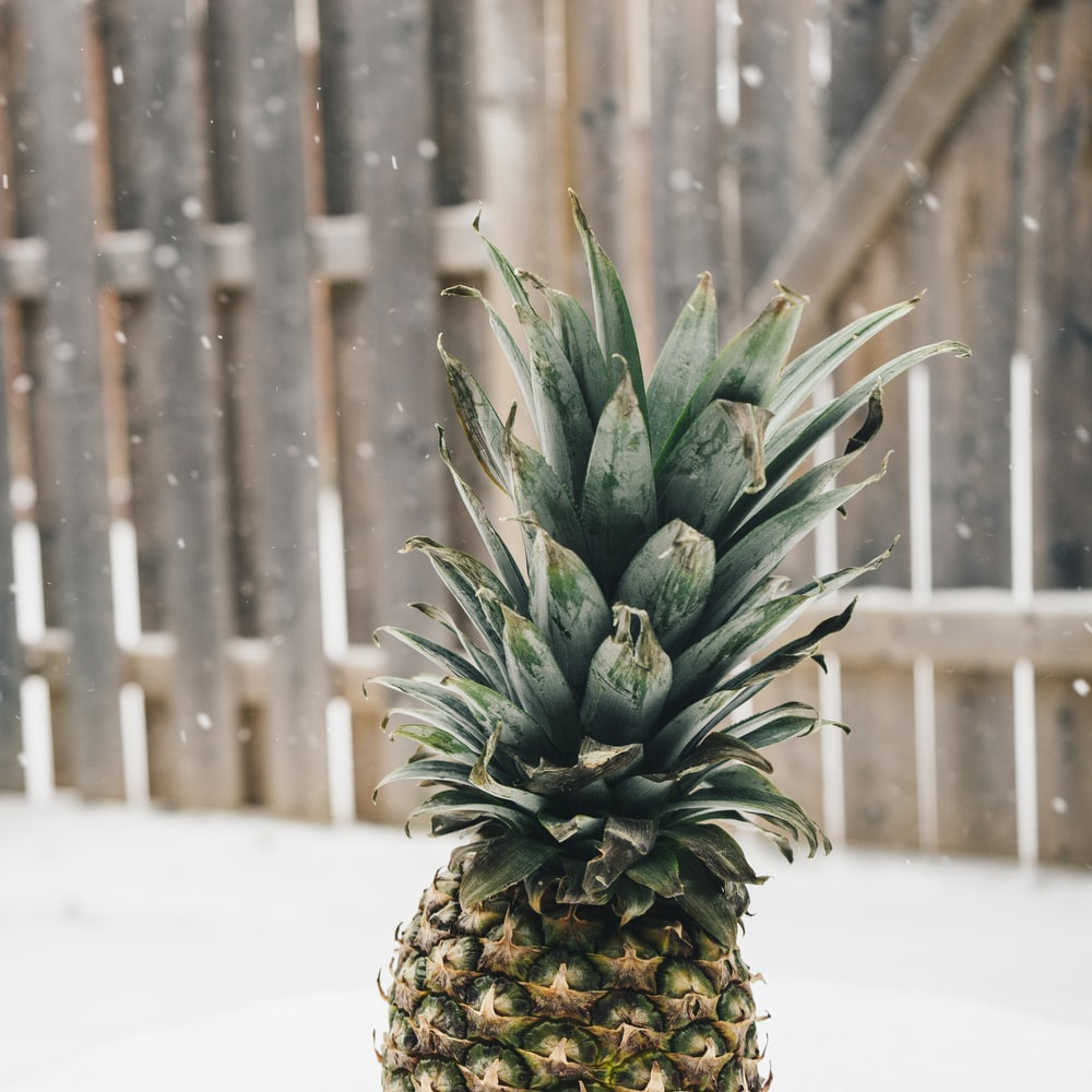 pineapple near at wooden fence during snow