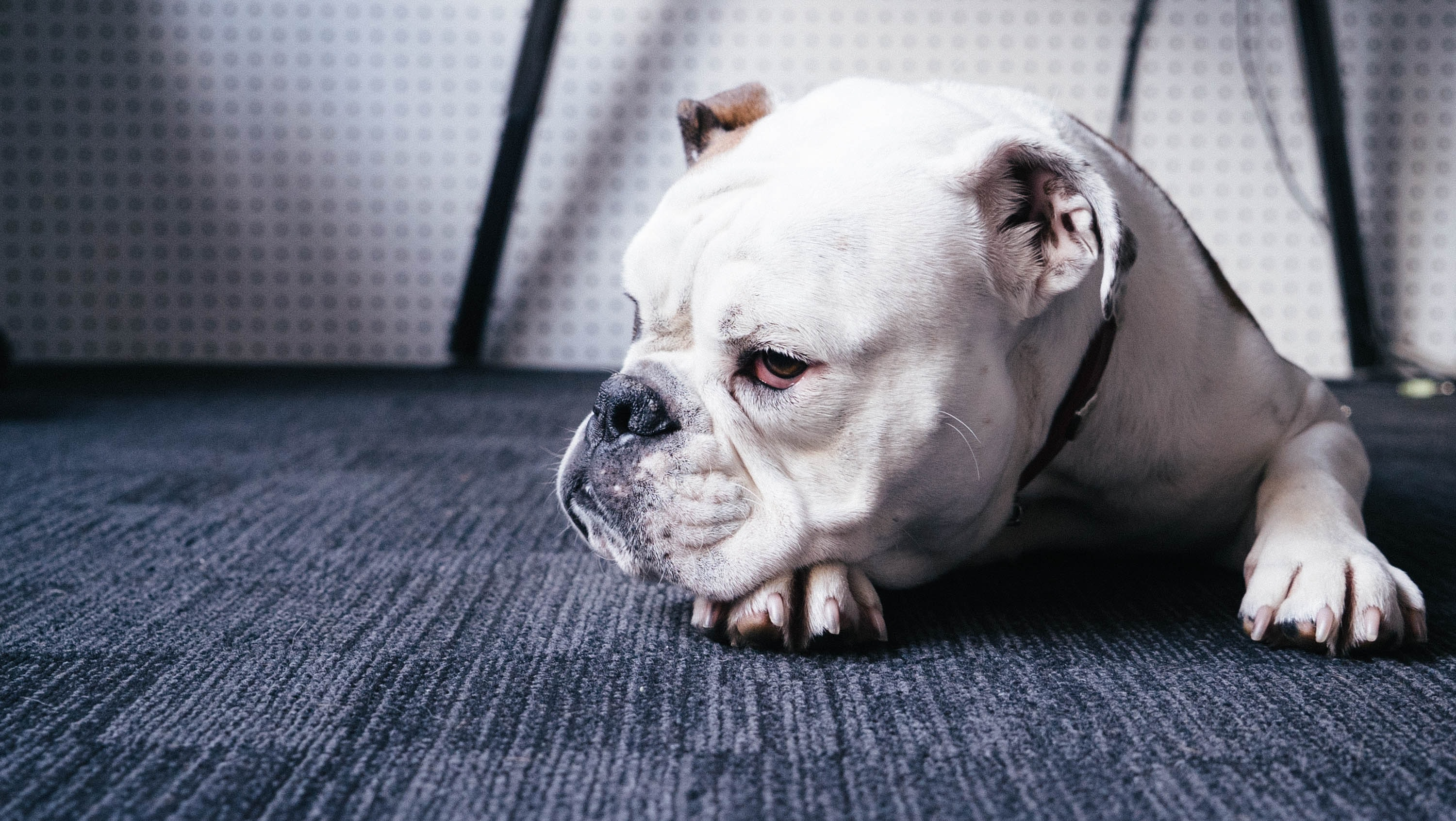 A white bulldog lying down on a carpet