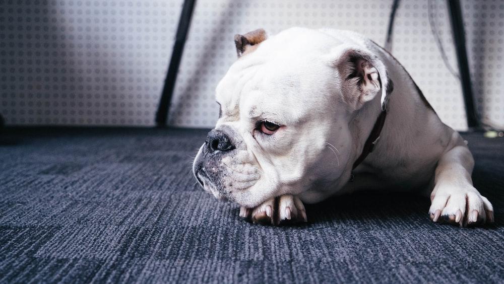 A white bulldog lying down on a carpet