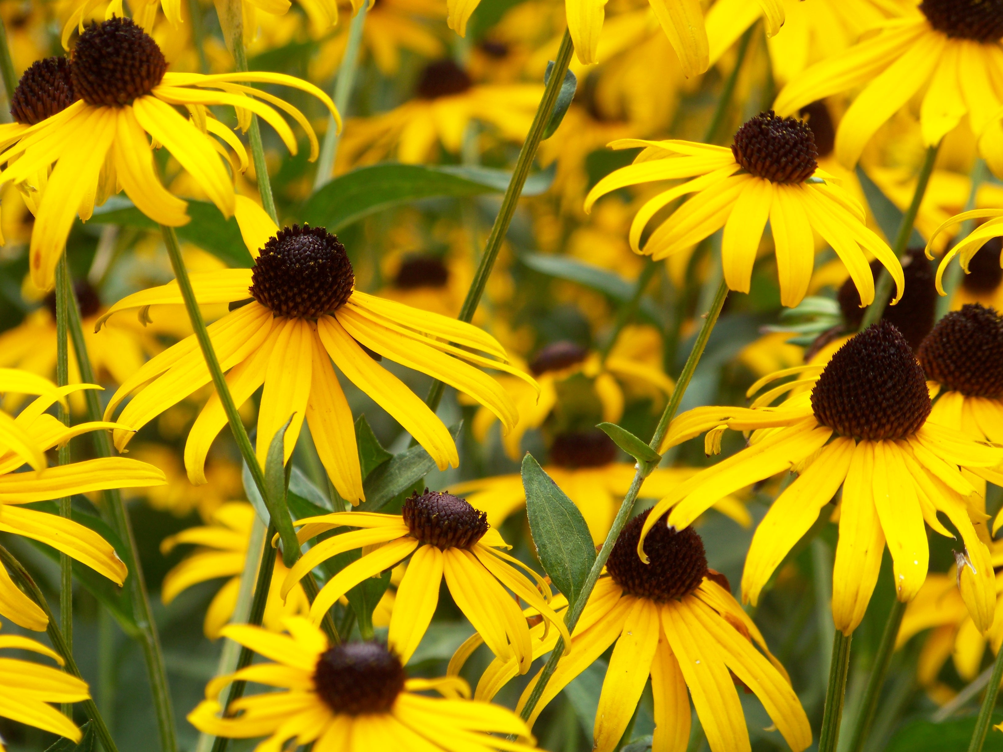 Yellow black-eyed Susan flowers in full bloom