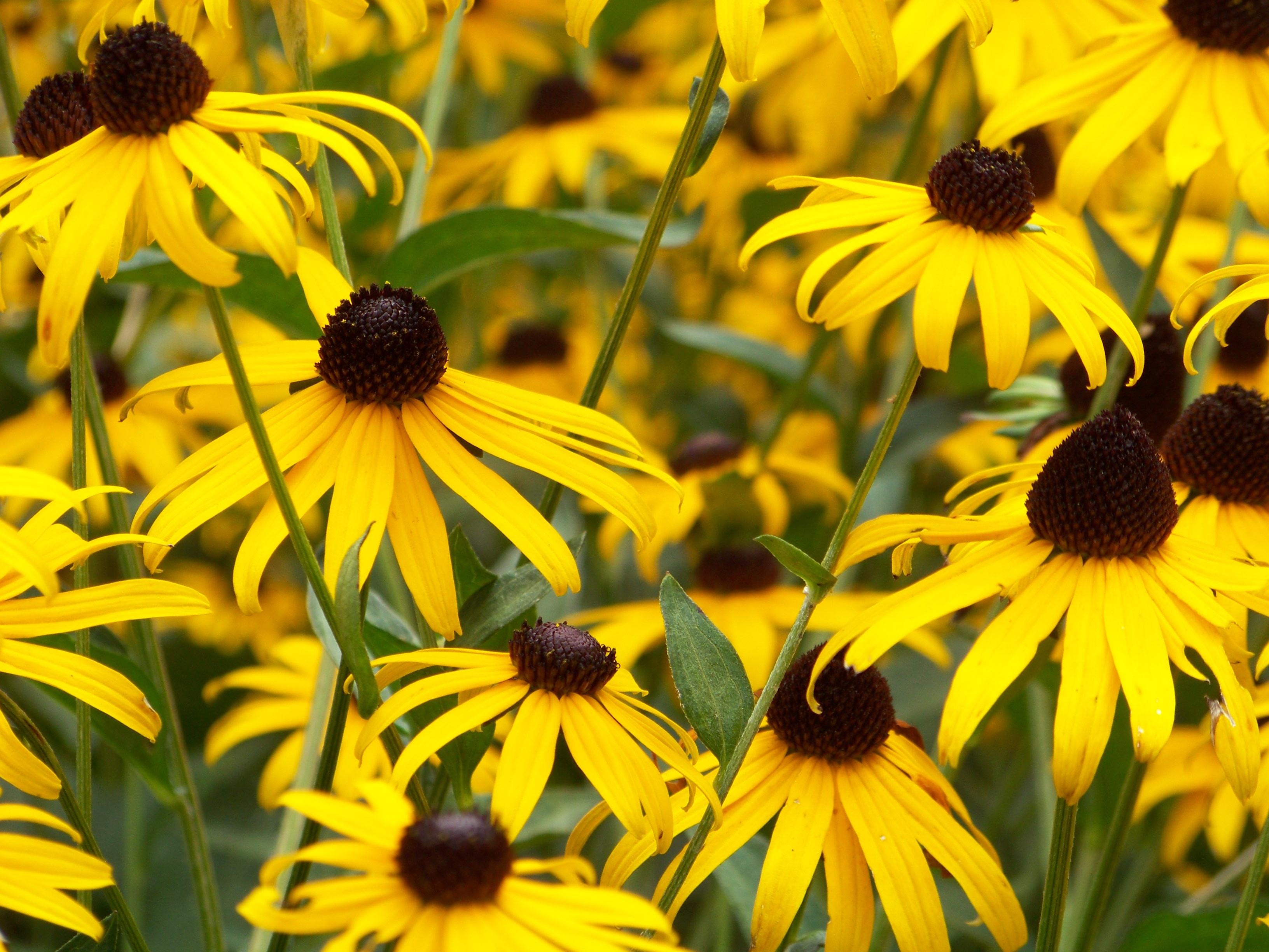 Yellow black-eyed Susan flowers in full bloom