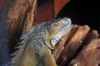 gray iguana
