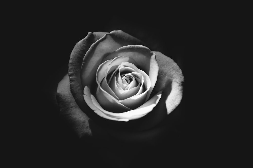 Black and white rose fully bloomed against a black background