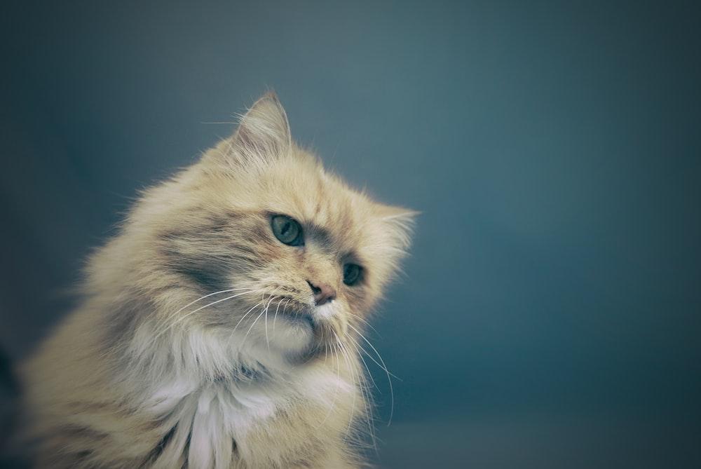 long-fur gray cat