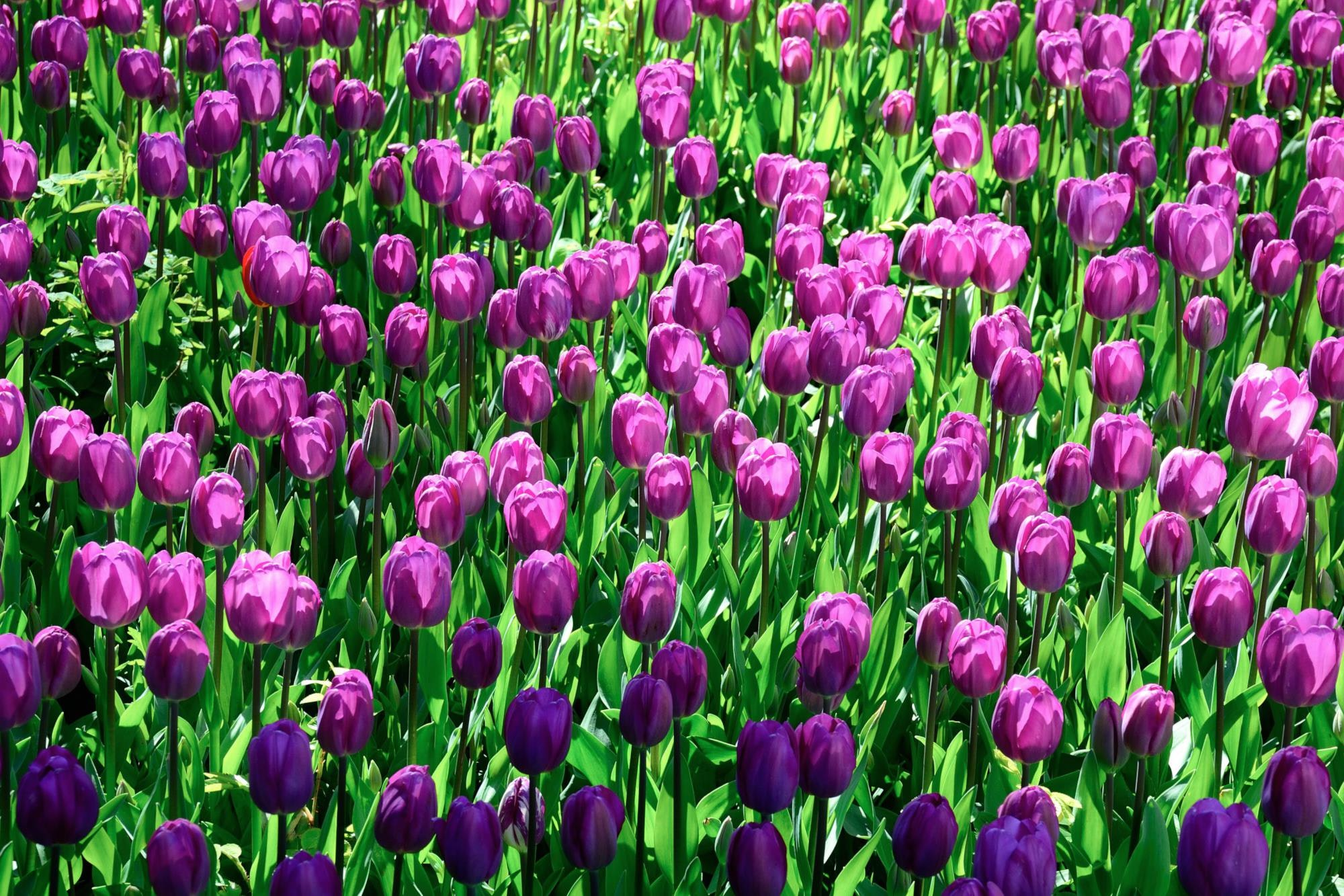 A large group of purple tulips slowly opening up their petals