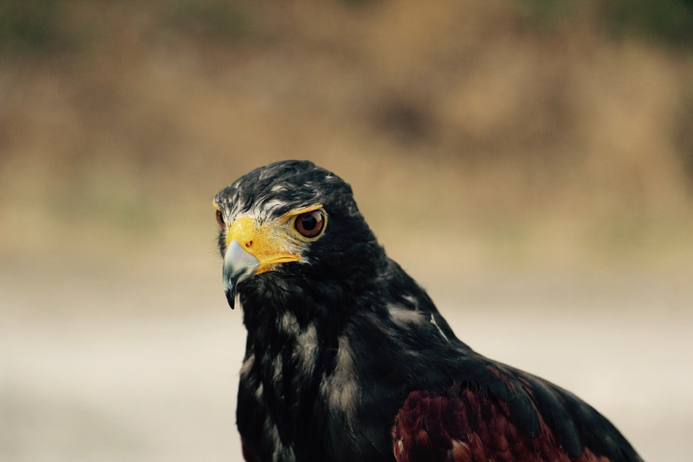 selective focus photography of black and brown hawk during daytime