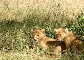 two brown lion cubs on grasses
