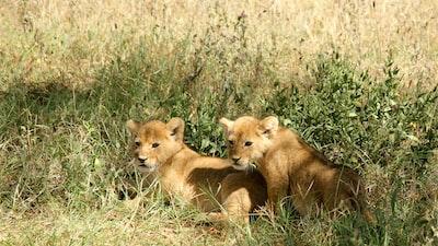 Huddled lion cubs