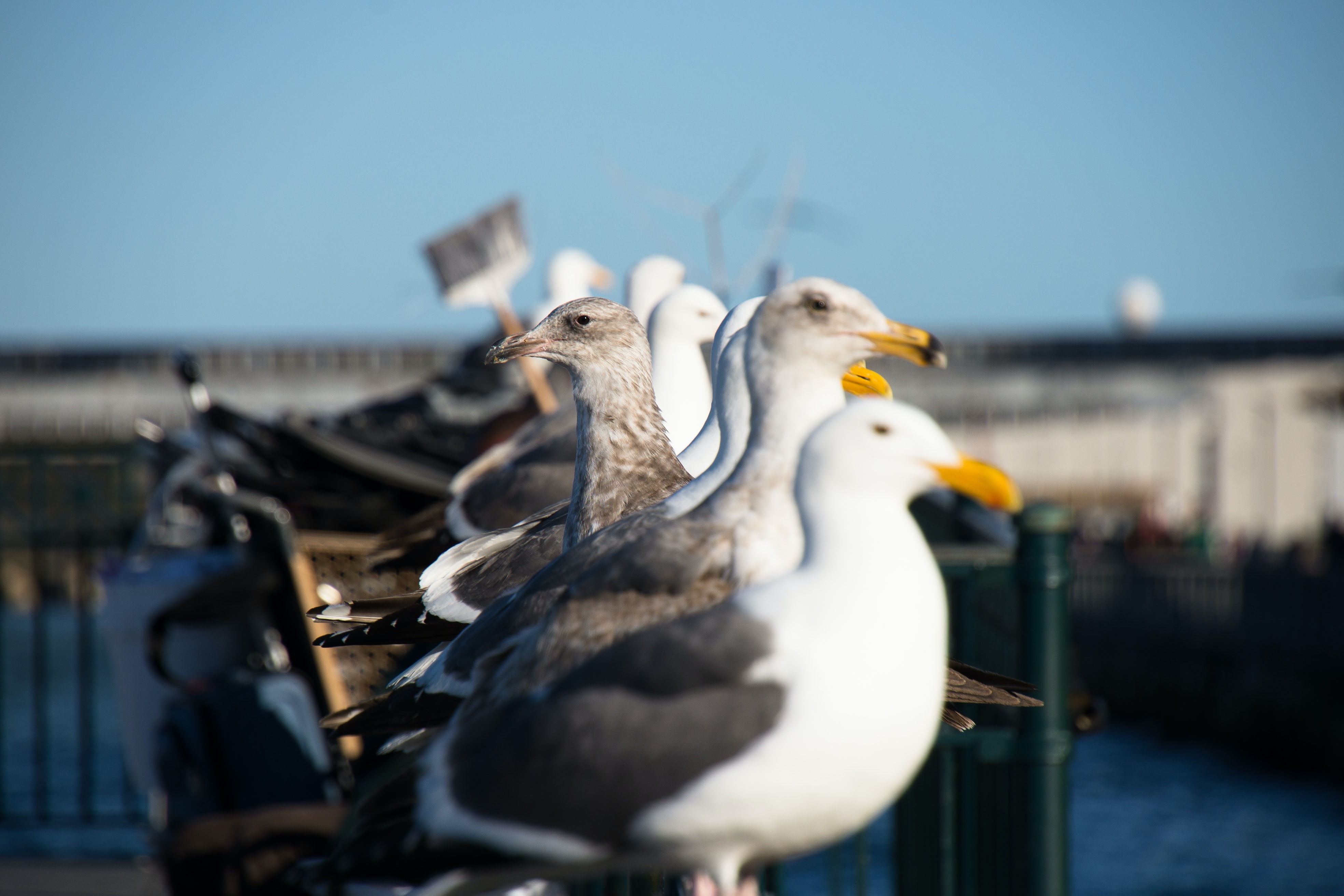 flock of white-and-gray seagulls