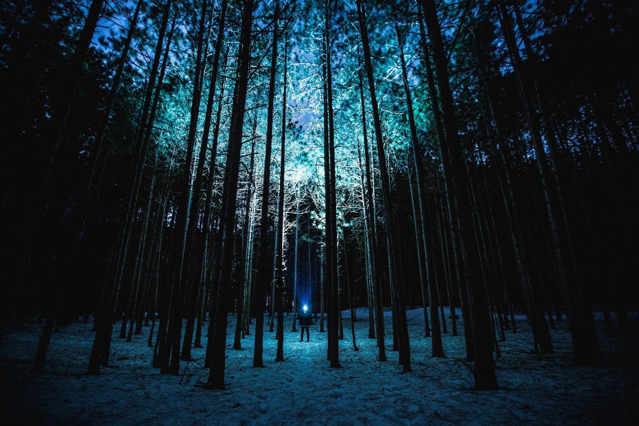 A person in a coniferous forest shining a flashlight on the treetops after dusk