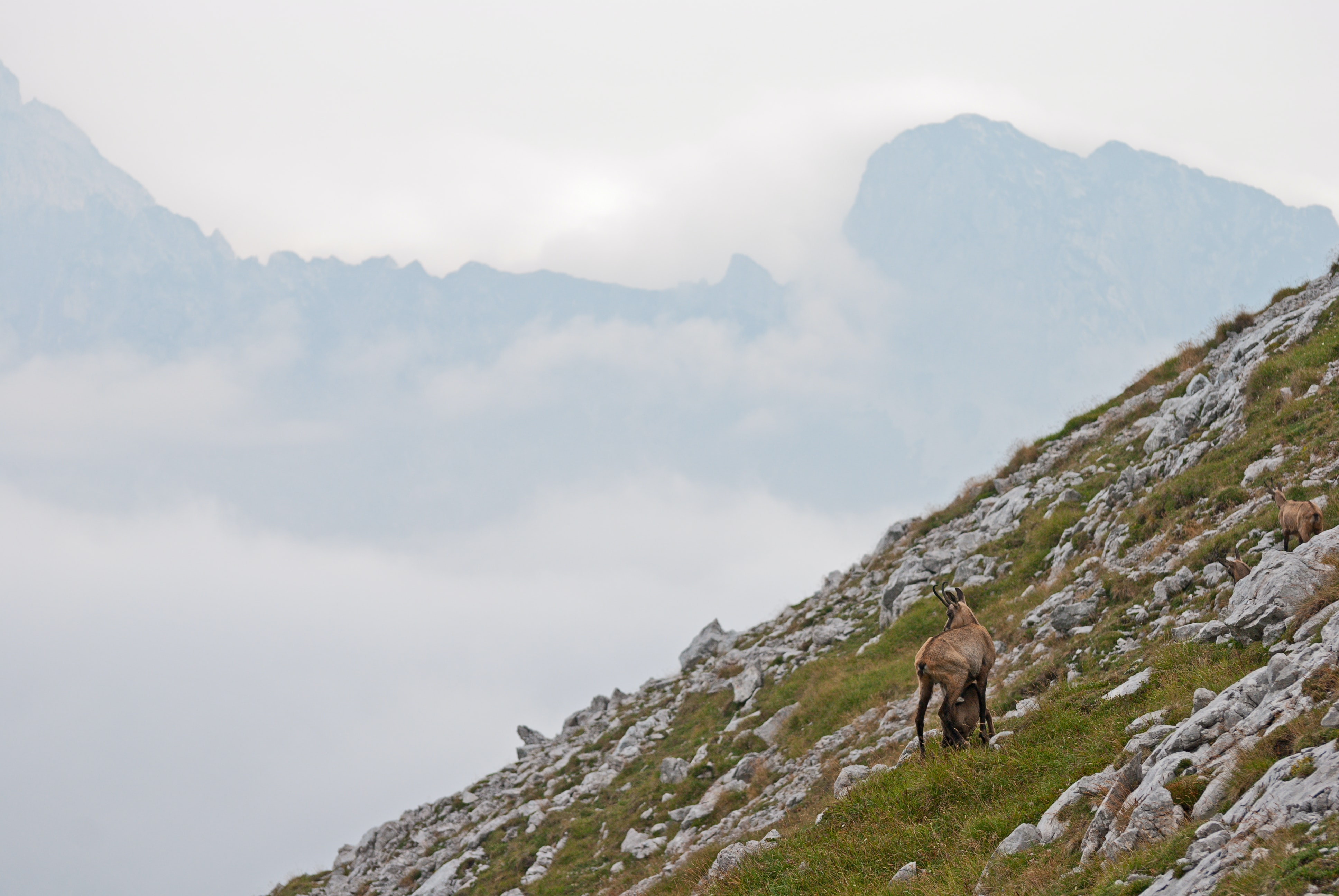Goat grazing on the foggy rocky mountainside of Nationalpark Gesaeuse