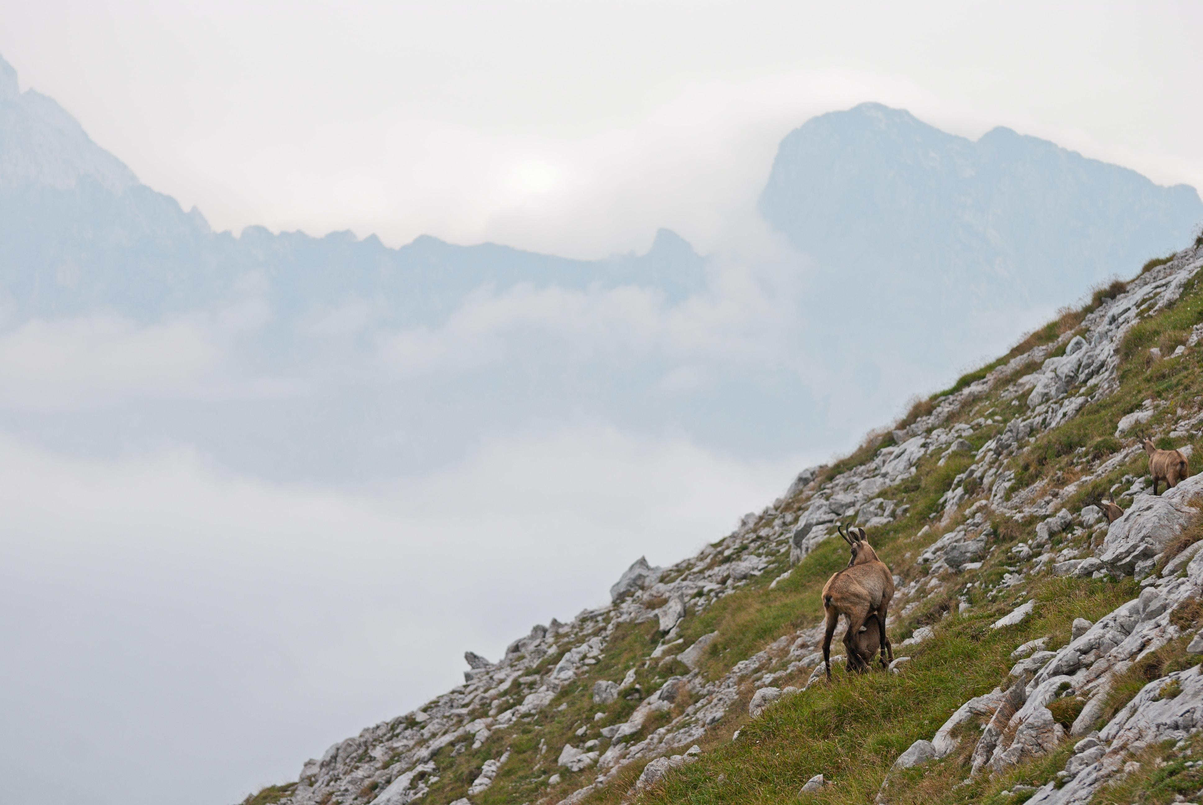 brown mountain goats beside top of mountain