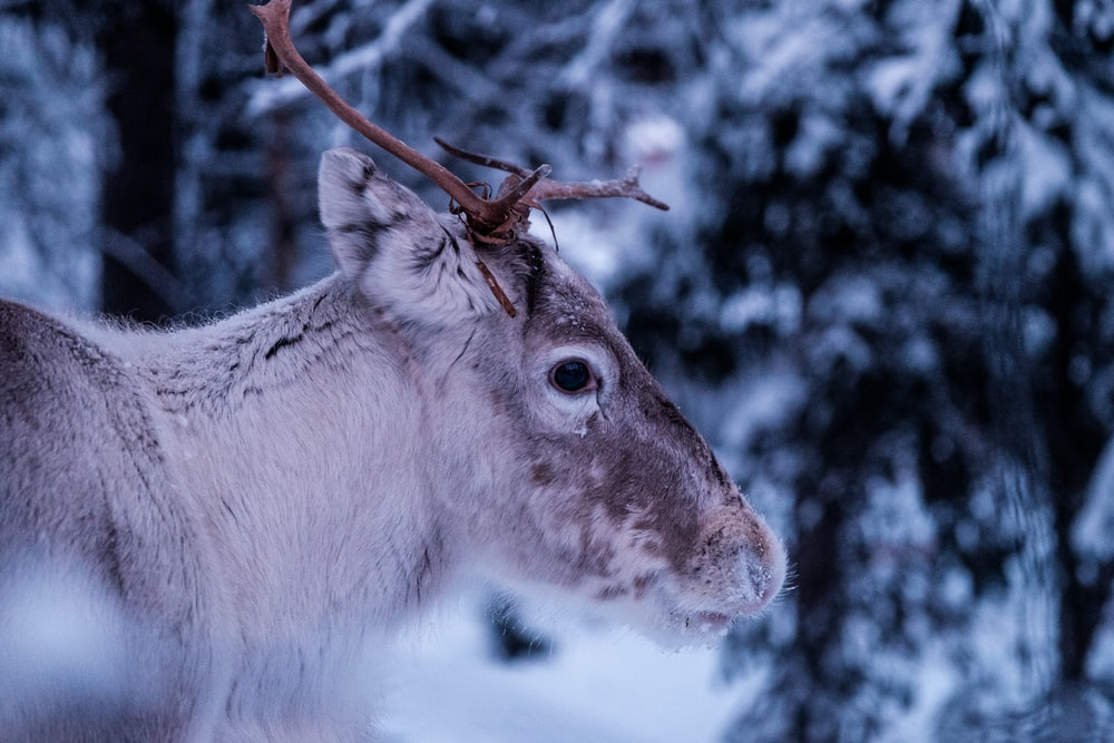 close-up photo of gray deer at forest
